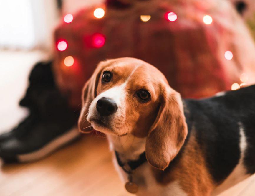 beagle Christmas photo