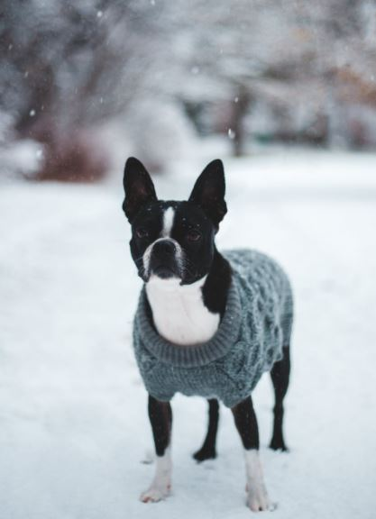 Christmas dog photo with gray sweater