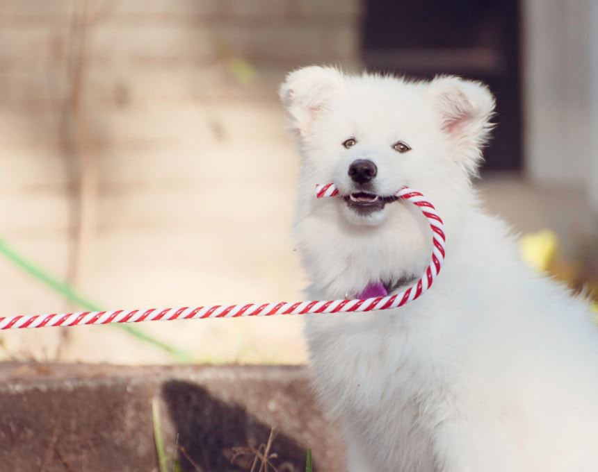 Christmas dog photo with candy cane