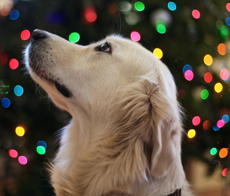 dog Christmas photo with bokeh lights