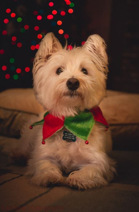 Cute dog with red and green Christmas collar