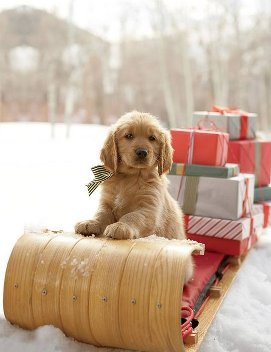 Christmas photo with dog on toboggan with gifts