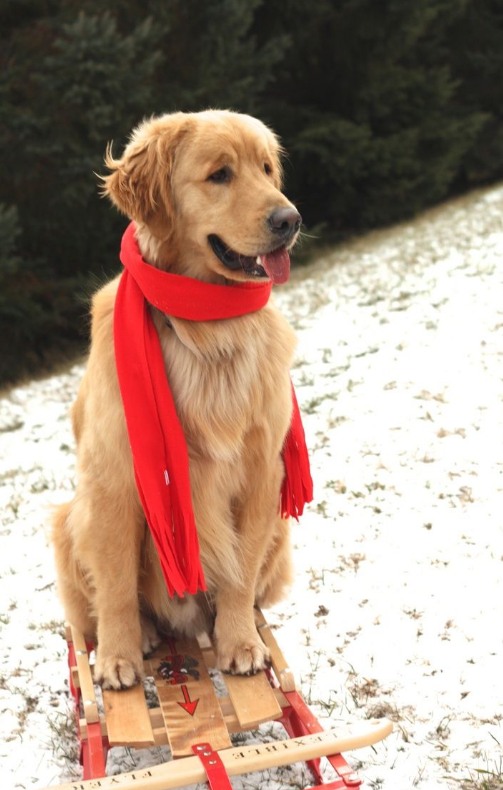 dog with red scarf on old fashioned sled