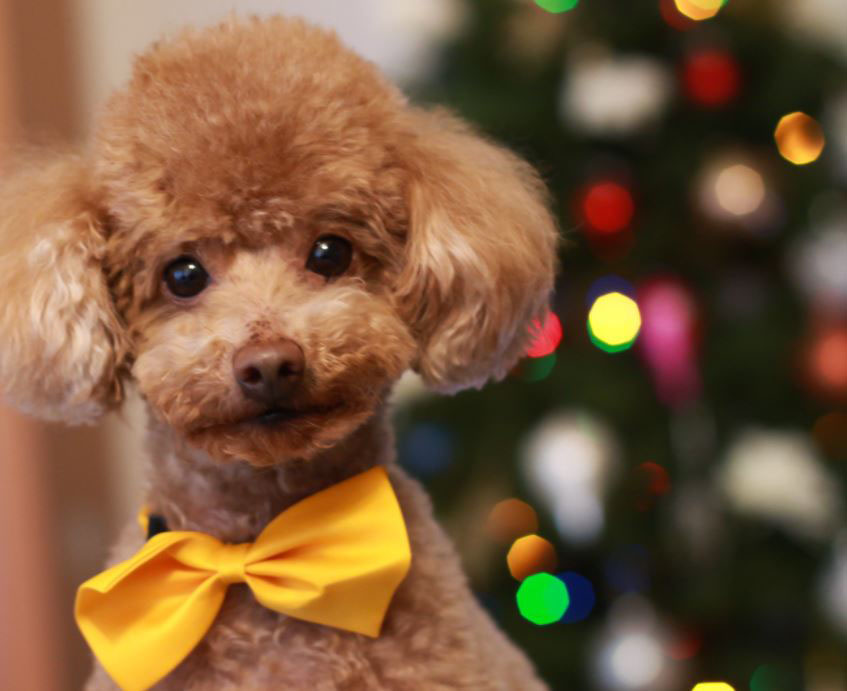 Poodle dressed up with yellow bow tie