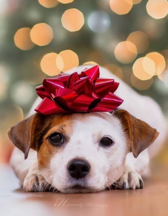 Christmas dog photo with bow