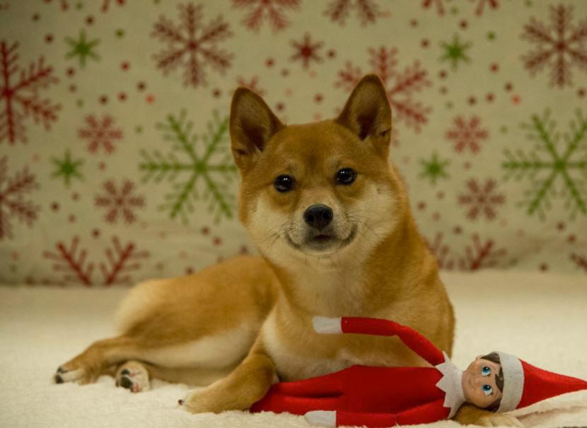 Shiba Inu with elf on the shelf