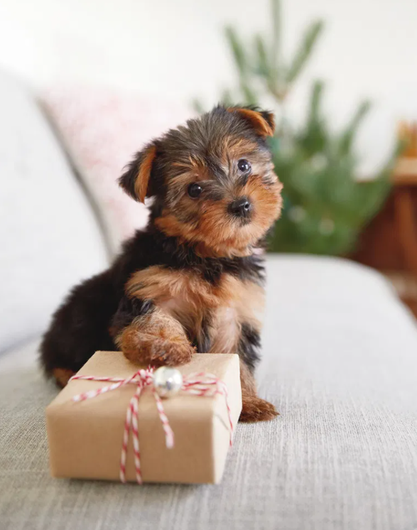 Dog wanting to open a present