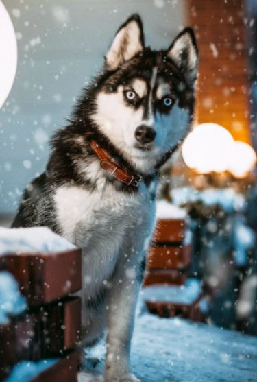 Dog in snow with piercing eyes